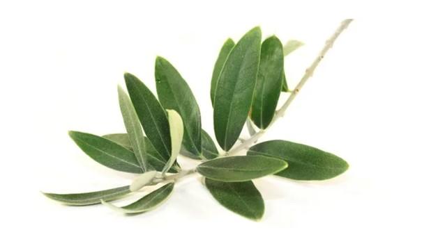 Olivenblattextrakt